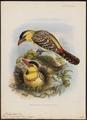 Trachyphonus margaritatus - 1870-1871 - Print - Iconographia Zoologica - Special Collections University of Amsterdam - UBA01 IZ18800088.tif