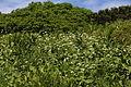 Trautvetteria caroliniensis var. japonica and Veratrum stamineum.JPG