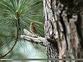 Tree Pipit (Anthus trivialis) (38231253516).jpg