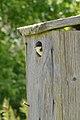 Tree Swallow (Tachycineta bicolor) - Guelph, Ontario 03.jpg
