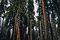 Trees in Sequoia National Park (Unsplash).jpg