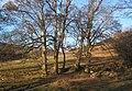 Trees near Knottend - geograph.org.uk - 1098352.jpg
