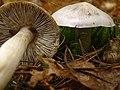 Tricholoma virgatum, Pembroke.jpg