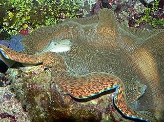<i>Tridacna derasa</i> Species of bivalve