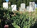 Trifolium fragiferum (subsp. fragiferum) sl3.jpg