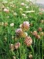 Trifolium fragiferum (subsp. fragiferum) sl45.jpg