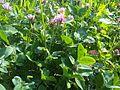 Trifolium pratense W171.jpg