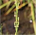 Triglochin palustris fruit (01).jpg