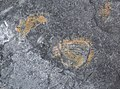 Trilobite in pyritic black shale (Jigunsan Formation, Middle Ordovician; Seokgaejae section, Gangwon Province, South Korea) 6.jpg