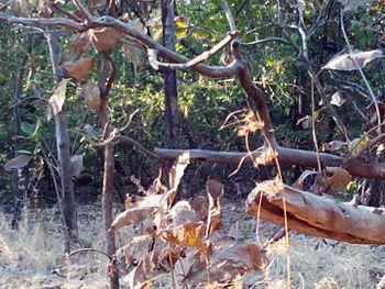 Tropical deciduous forest - Gir Forest.jpg