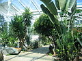 Tropical plants in Leamington Spa - geograph.org.uk - 26943.jpg
