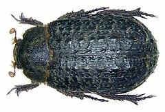 240px trox sabulosus (linné, 1758)
