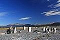 Tučňák oslí (Pygoscelis papua) - panoramio.jpg