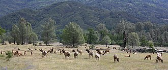 Tule elk - Herd at Lake Pillsbury near Hull Mountain, Mendocino National Forest in Lake County, California
