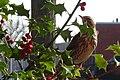 Turdus iliacus - Rotdrossel 1.jpg