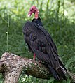 Turkey Vulture Perched.jpg