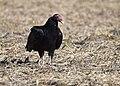 Turkey Vulture stalks, catches and eats live garter snake (30570931045).jpg