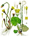 Tussilago farfara - Köhler–s Medizinal-Pflanzen-142.jpg