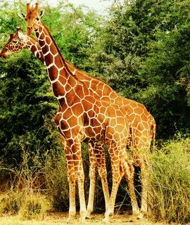 Reticulated giraffe subspecies of giraffe