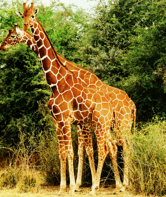 Reticulated giraffe - Image: Two Giraffes