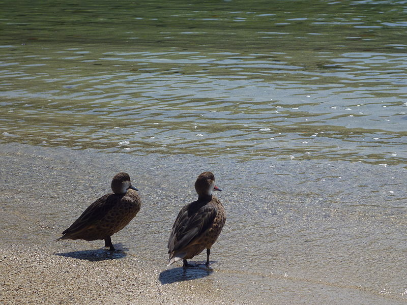 Dosya:Two ducks in the galapagos islands - santa cruz, ecuador.JPG