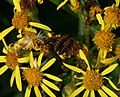 Tyria jacobaea (Cinnabar moth) caterpillars - Flickr - S. Rae.jpg