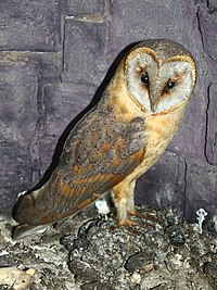 Owl Simple English Wikipedia The Free Encyclopedia
