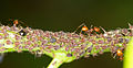 Unknown ants (14336802719).jpg