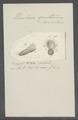Urceolaria sputarium - - Print - Iconographia Zoologica - Special Collections University of Amsterdam - UBAINV0274 113 21 0024.tif
