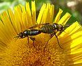 Usia species. Bee Flies - Flickr - gailhampshire.jpg