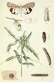 Utetheisa pulchella 1917.png