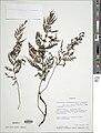 Vandenboschia gigantea-NMNH-01412595.jpg