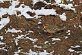 Varied Thrush (Ixoreus naevius) (5634526509).jpg