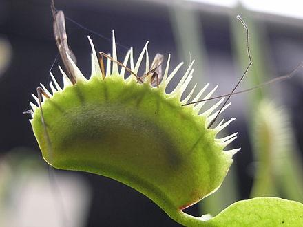 Steel Trap Carnivorous Plants Wikiwand