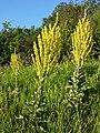 Verbascum speciosum sl17.jpg