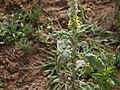 Verbascum thapsus (6371384223).jpg