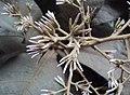 Vernonia arborea 05.JPG