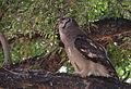 Verreaux's eagle-owl, or giant eagle owl, Bubo lacteus eating a snake at Pafuri, Kruger National Park, South Africa (20497172798).jpg