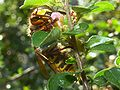 Vespa crabro germana 02.jpg