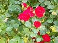 Veszprém 2016, Dózsaváros, rózsák.jpg