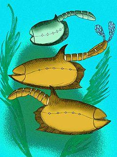 <i>Vetulicola</i> Cambrian age animal genus