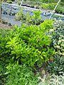 Viburnum japonicum - Flickr - peganum.jpg