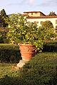 Villa la quiete, giardino all'italiana, limoni 01.JPG