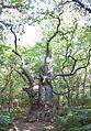 Vilm alter Baum Nordwestseite der Insel.jpg
