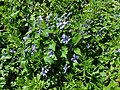 Viola riviniana 2019-04-20 1588.jpg