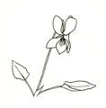Viola riviniana ellywa.png