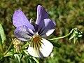 Viola tricolor a1.jpg