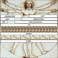 Vitruvian Man Measurements cs.png