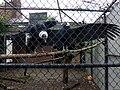 Vultur gryphus -Pittsburgh National Aviary-6.jpg
