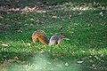 Wade Lagoon squirrel (27394311812).jpg